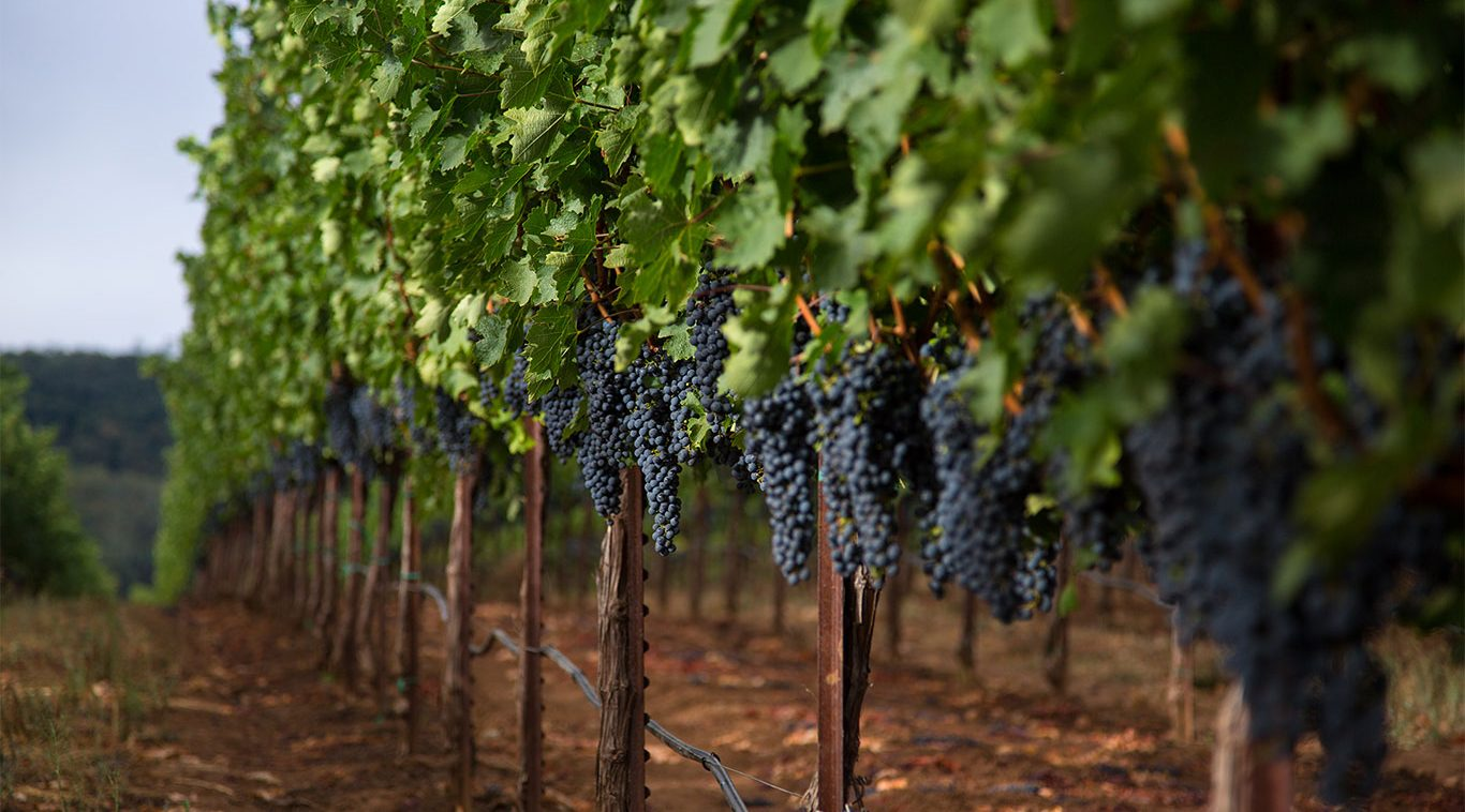 Home Slider Image - Grapes Hanging From Row Of Vines
