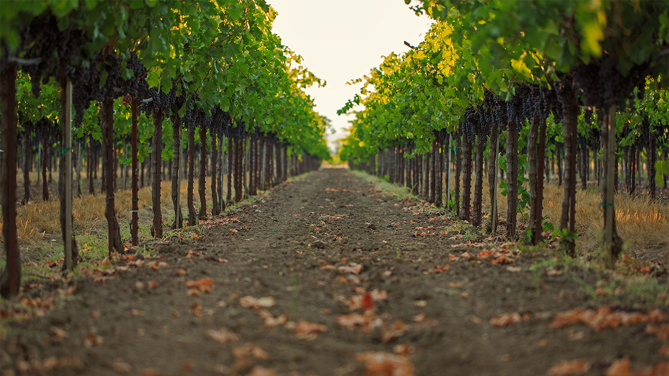 Home Slider Image - Row Of Grape Vines