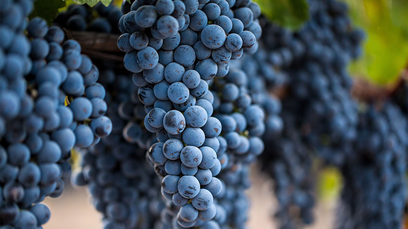 Home Slider Image - Close-up Of Grapes Hanging From Vines